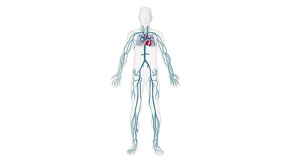 L'Apparato cardiovascolare - L'Apparato cardiovascolare